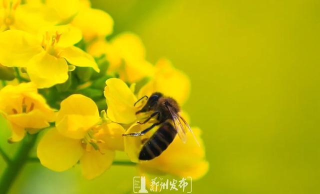 郑州聊吧-油菜花盛开!郑州这个水库的美景藏不住了(6)