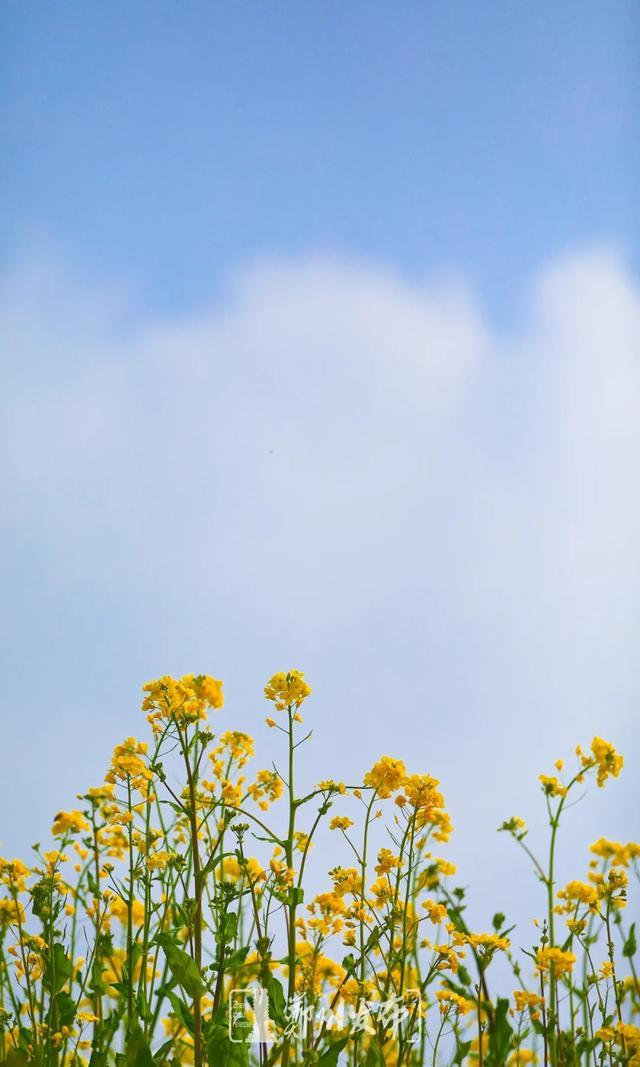 郑州聊吧-油菜花盛开!郑州这个水库的美景藏不住了(8)