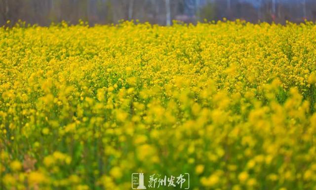 郑州聊吧-油菜花盛开!郑州这个水库的美景藏不住了(14)